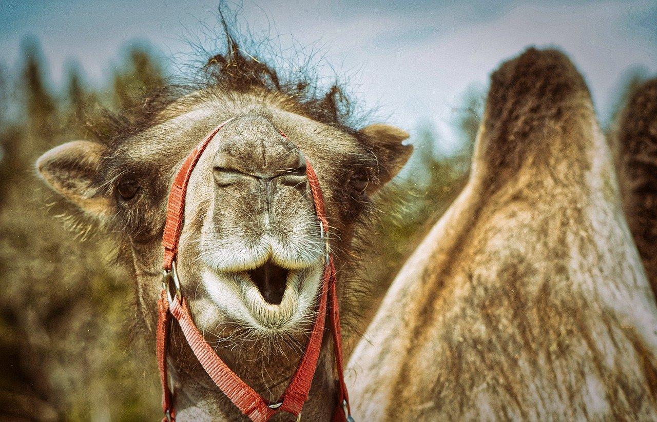 Im Höcker der Kamele speichern die Tiere Wasser im Körperfett. So effizient kann der menschliche Körper das nicht