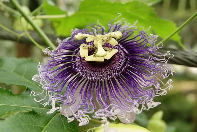 Pflanzliche Schlafmittel Passionsblume