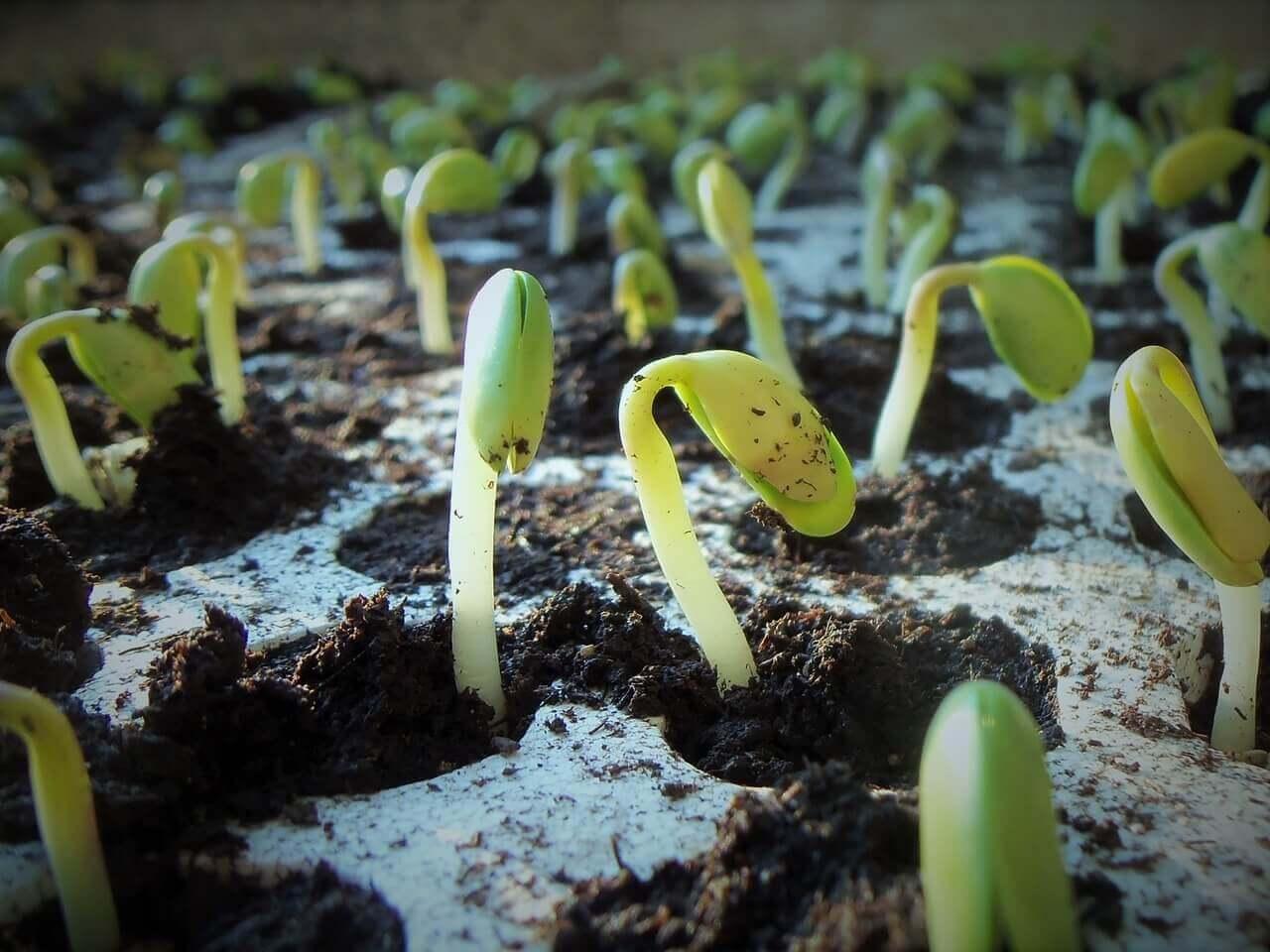Soja Pflanze beim Wachsen